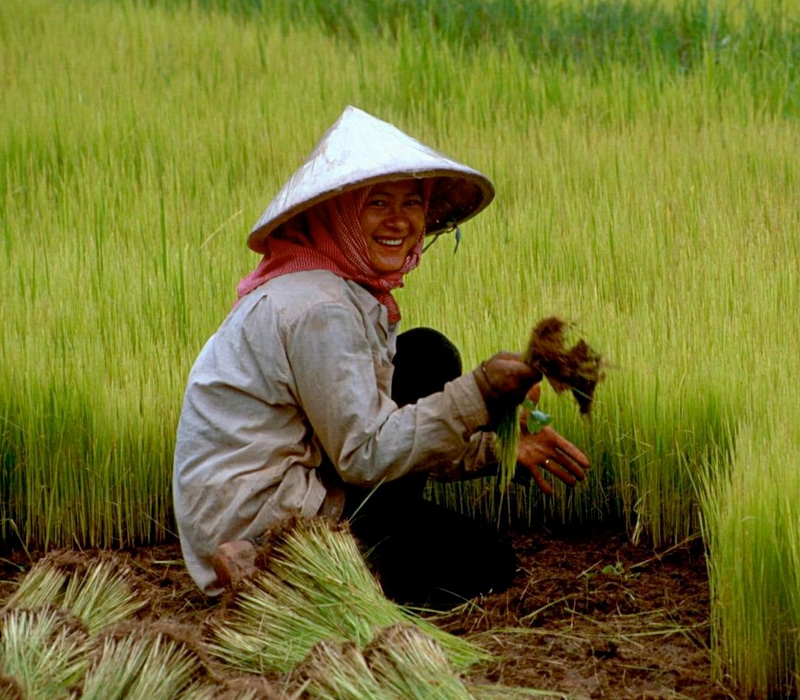 conical hat woman paddy field